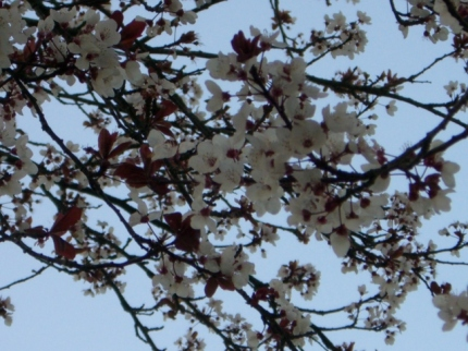 Flor deciruelo