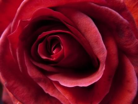 rosaroja.jpg