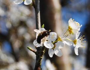 Abejita en flor de ciruelo